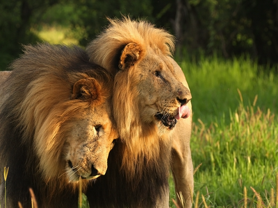 africa, lions,wildilfe, nature