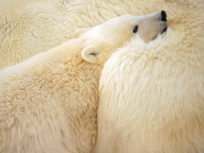 nature, bears, arctic, endangered