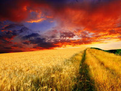 wheat field sunset